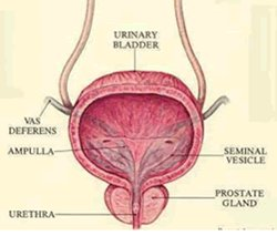 The Prostate and You