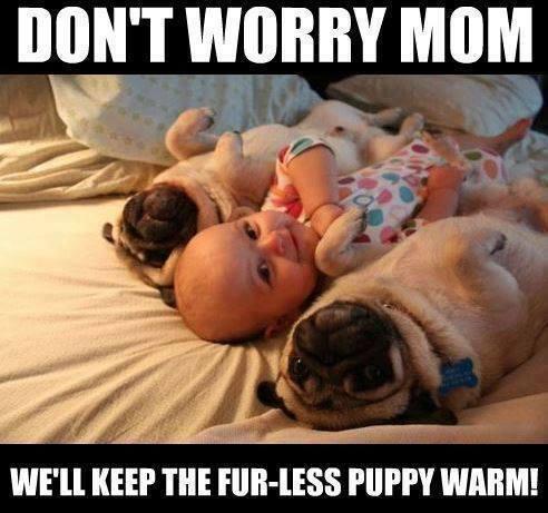 confused pugs