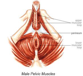 Male Pelvic Muscles